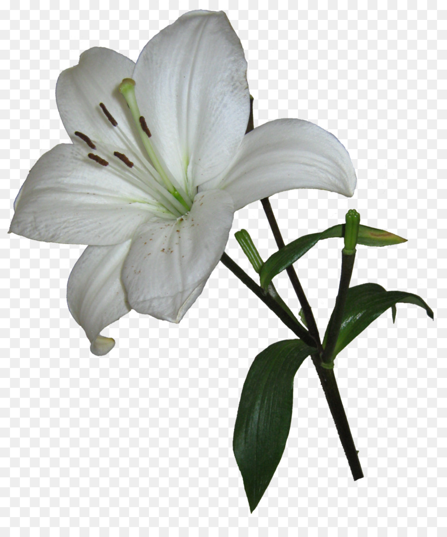 Cat easter lily houseplant dog pet lily png photos png download cat easter lily houseplant dog pet lily png photos izmirmasajfo