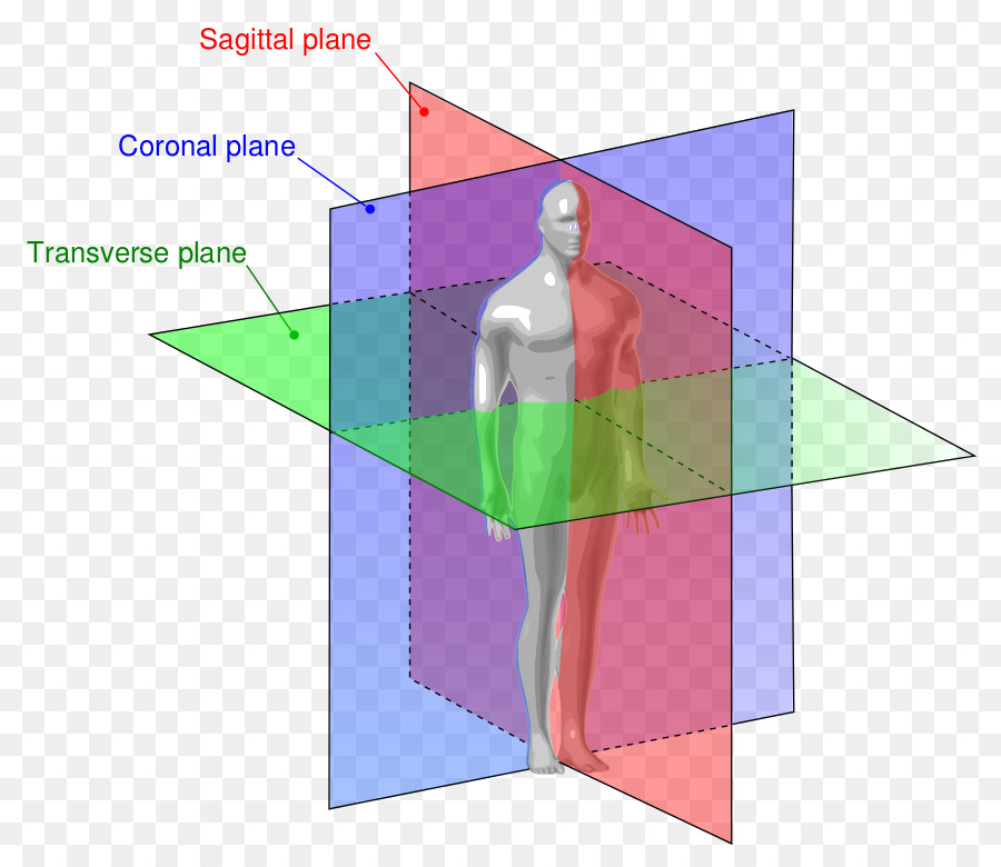 Anatomy Sagittal Plane Anatomical Terms Of Location Coronal Plane