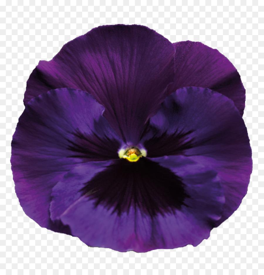 Pansy Violet Purple Violet Transparent Background Png Download