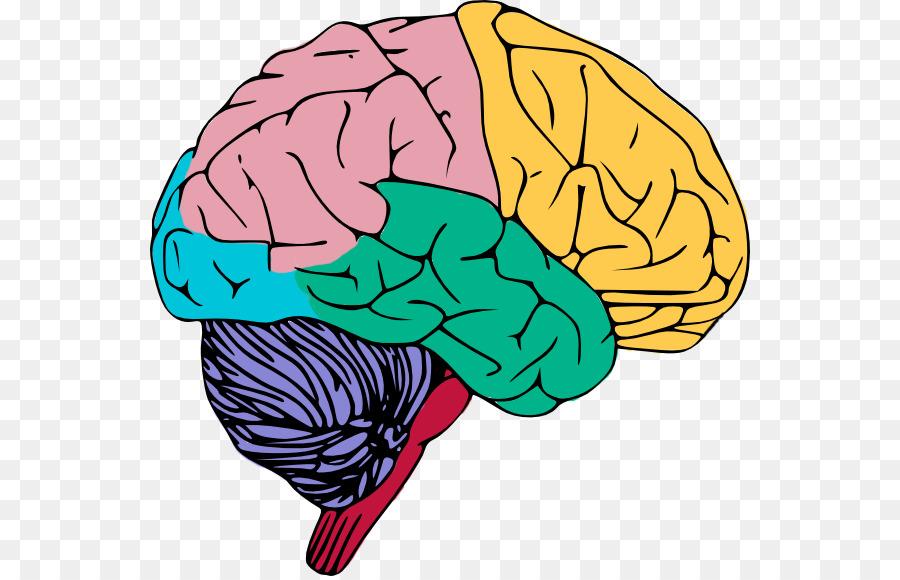 human brain royalty free clip art harvard cliparts png download rh kisspng com  brain pictures clip art