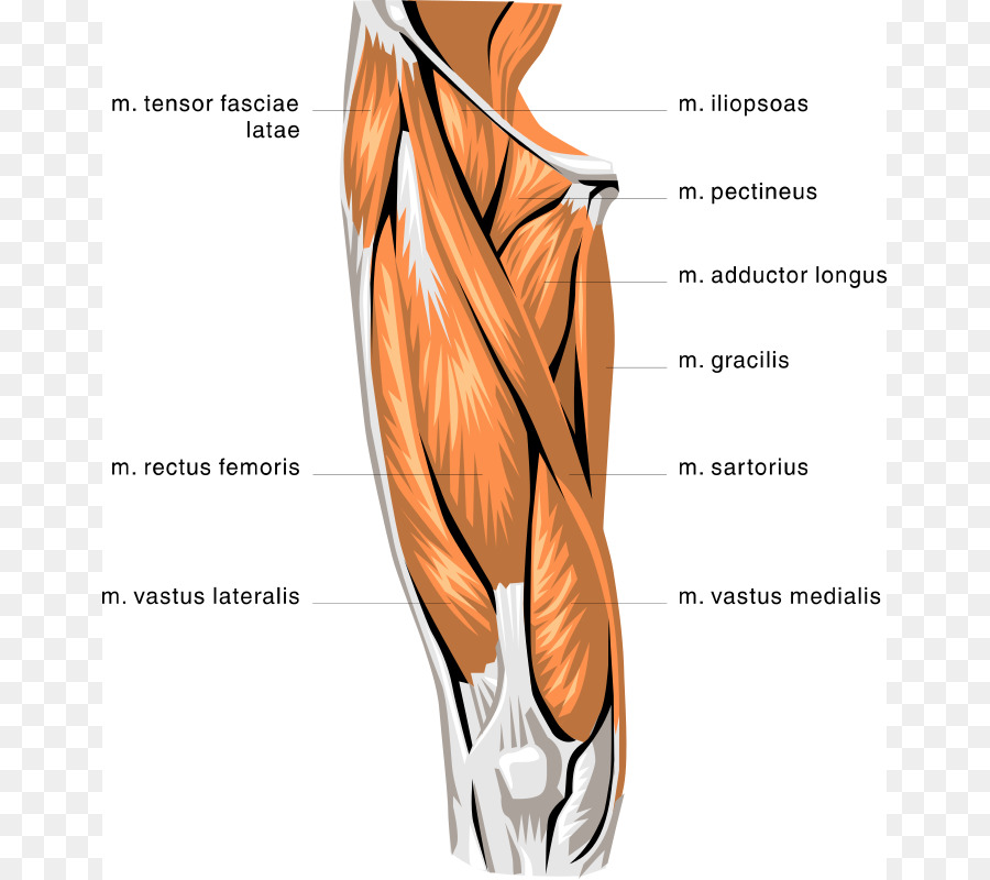 Rectus femoris muscle Quadriceps femoris muscle Biceps femoris ...