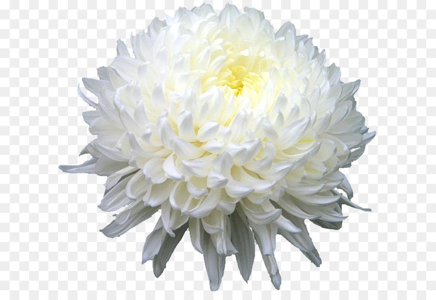 Chrysanthemum xd7grandiflorum chrysanthemum indicum chrysanthemum chrysanthemum xd7grandiflorum chrysanthemum indicum chrysanthemum tea flower chrysanthemum png hd mightylinksfo