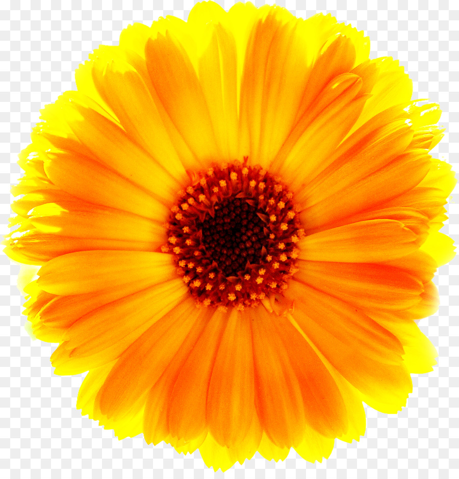 Yellow Common Daisy Flower Marigold Png Free Download Png Download