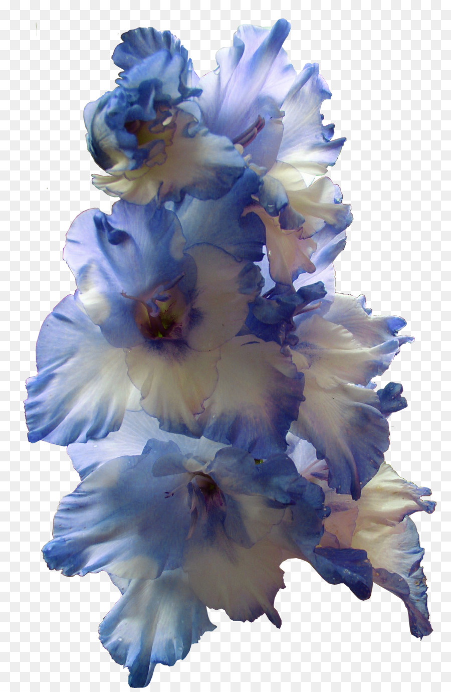 Gladiolus Flower Bulb Larkspur Blue Gladiolus Png Transparent