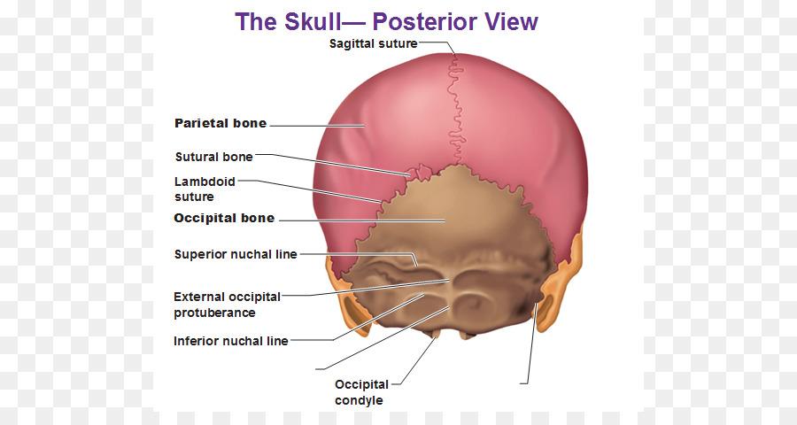 Human body Skull Anatomy External occipital protuberance Human back ...