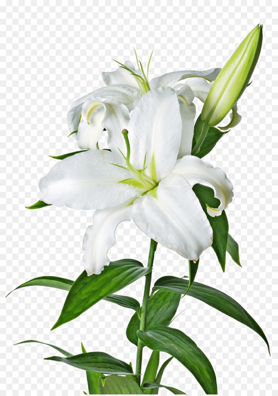 Lilium Candidum Tiger Lily Flower Easter Lily Lilium Bulbiferum