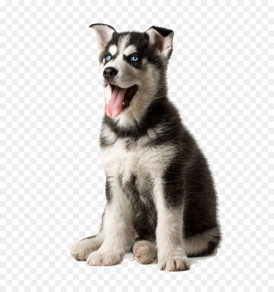 Siberian Husky German Shepherd Puggle Puppy Pet Meng Stupid Husky