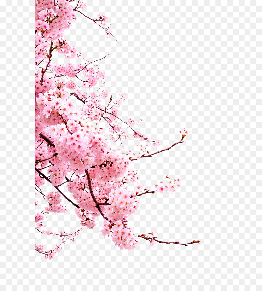 cherry blossom flower japanese cherry blossoms png download 658