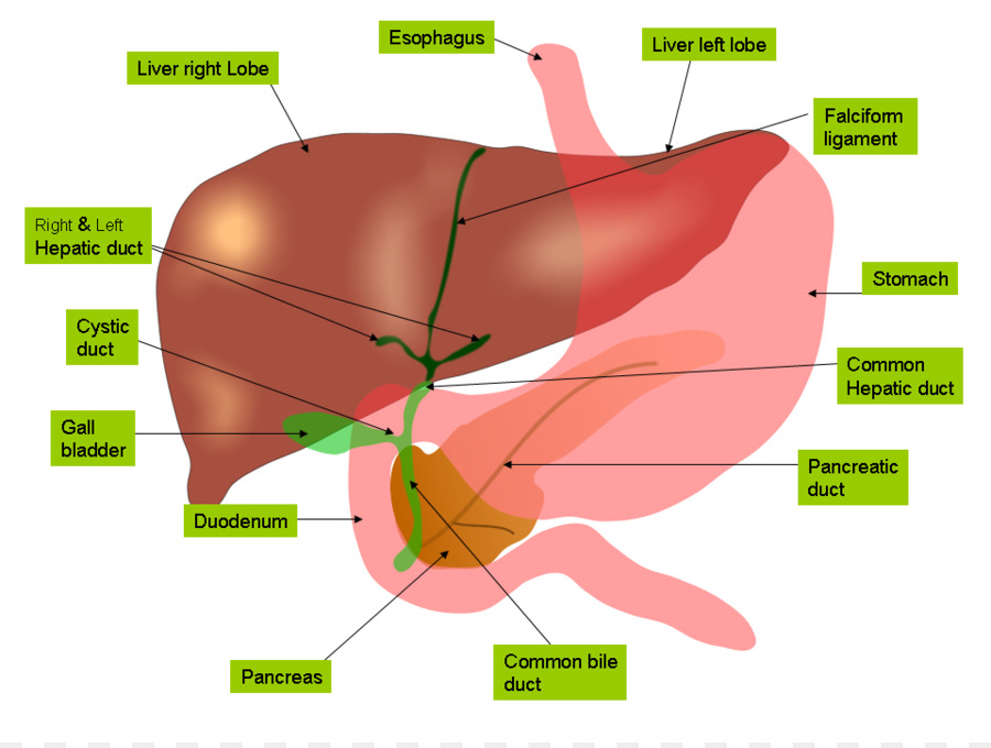 Anatomía del hígado Vesícula Biliar tracto Gastrointestinal - Libre ...