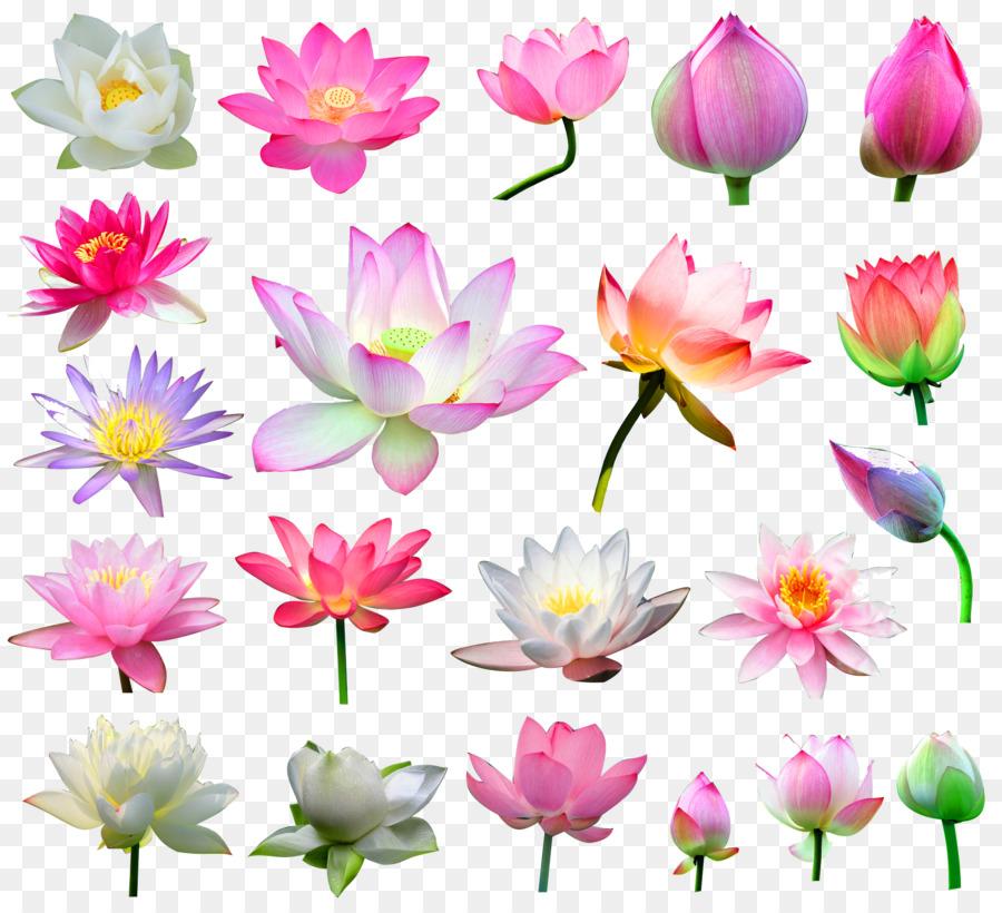 Nelumbo Nucifera Bunga Daun Tinta Mencuci Lukisan Perkecambahan 21