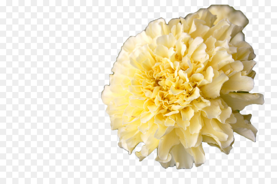 Mexican marigold calendula officinalis flower annual plant white mexican marigold calendula officinalis flower annual plant white marigold mightylinksfo
