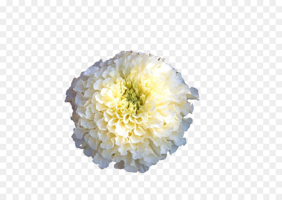 Mexican marigold calendula officinalis flower white marigold png mexican marigold calendula officinalis flower white marigold mightylinksfo