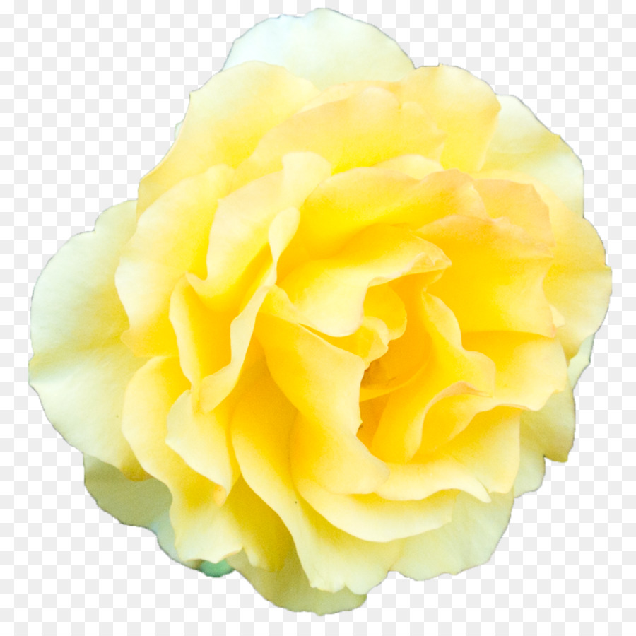 Beach Rose Garden Roses Yellow Yellow Rose Transparent Background