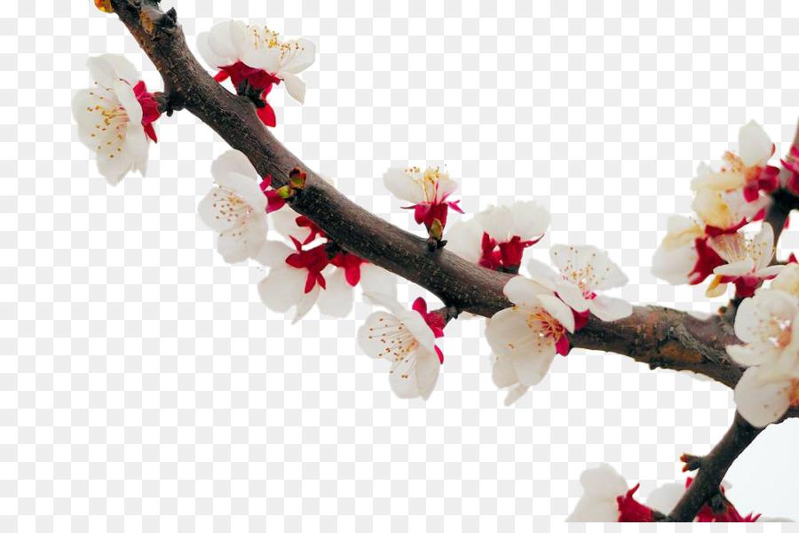 Cherry blossom apricot plum flower white apricot blossom png cherry blossom apricot plum flower white apricot blossom mightylinksfo