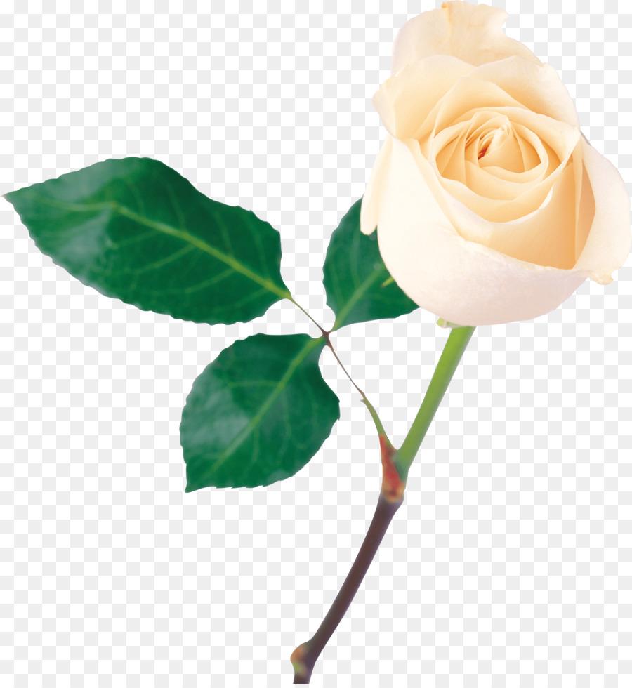 Rosa Flor Blanca - De La Rosa Blanca Formatos De Archivo De Imagen ...