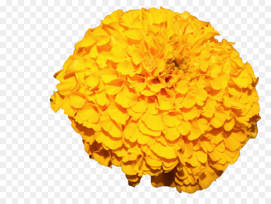 Mexican marigold flower yellow yellow marigold png download 1200 mexican marigold flower yellow yellow marigold mightylinksfo