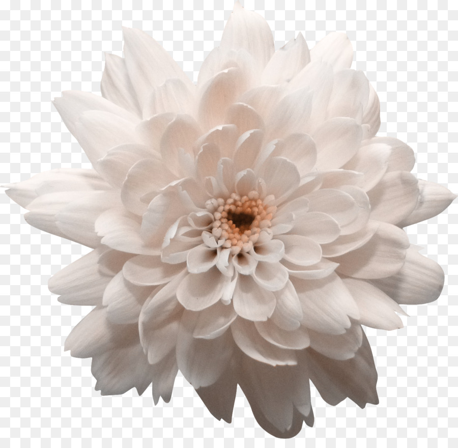 Dahlia Chrysanthemum Flower Transvaal Daisy Chrysanthemum Png
