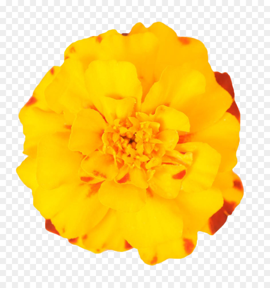 Mexican Marigold Flower Plant Yellow Marigold Png Download 943