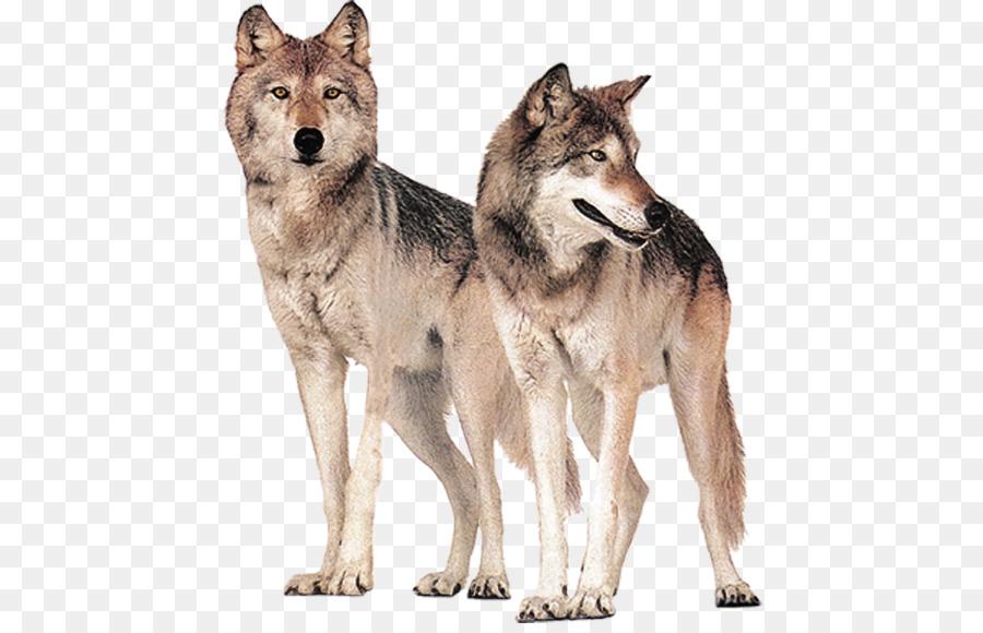 Gray Wolf Wolves Hongqiao Bridge Wolf Png Download 496