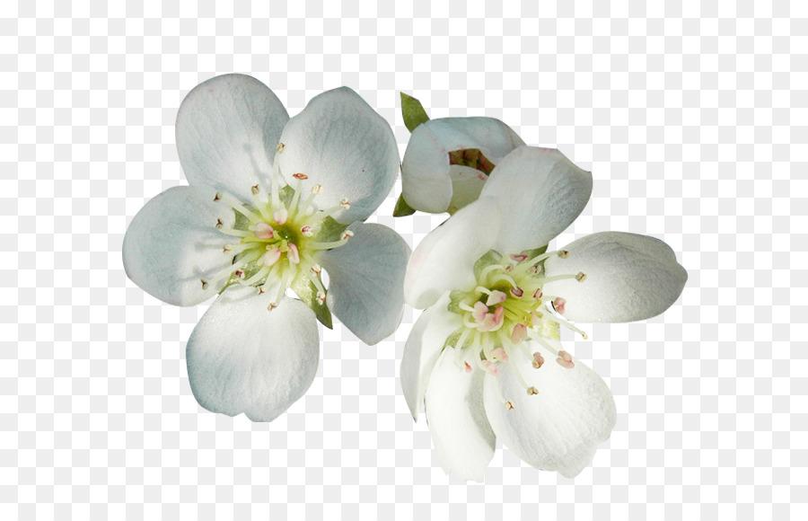Flower petal blossom white pear flower petals two picture material flower petal blossom white pear flower petals two picture material mightylinksfo
