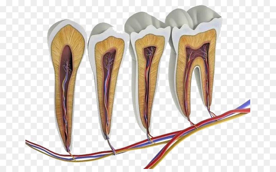 Humana Anatomía del diente Molar de la Pulpa - Dientes podridos png ...