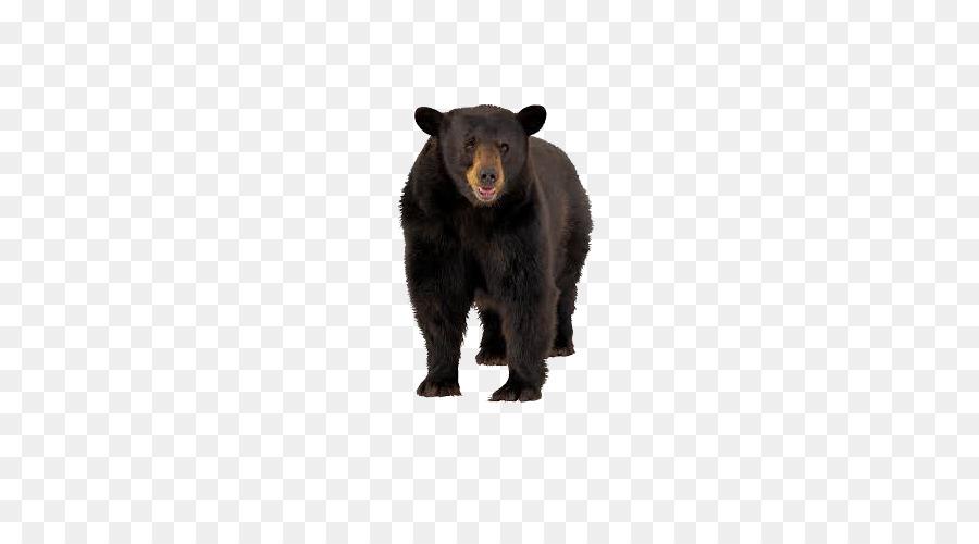 El oso negro americano oso pardo Tigre Ardilla - Oso negro, oso ...