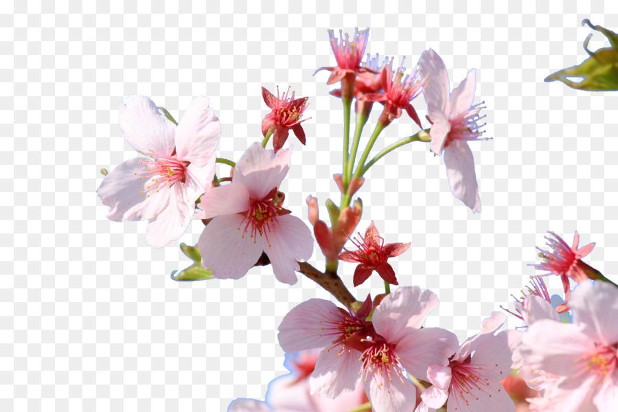 Cherry blossom japan floral design flower japanese cherry blossoms cherry blossom japan floral design flower japanese cherry blossoms mightylinksfo