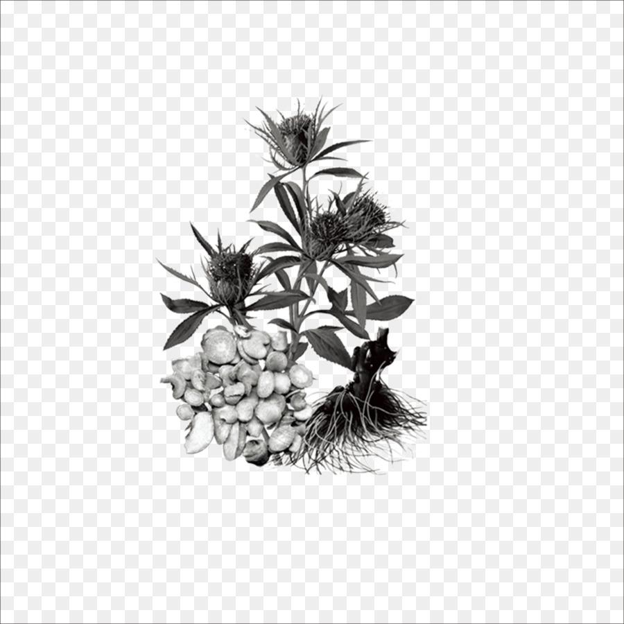 Bai Zhu Rhizome Chinese Herbology Herbal Traditional Chinese