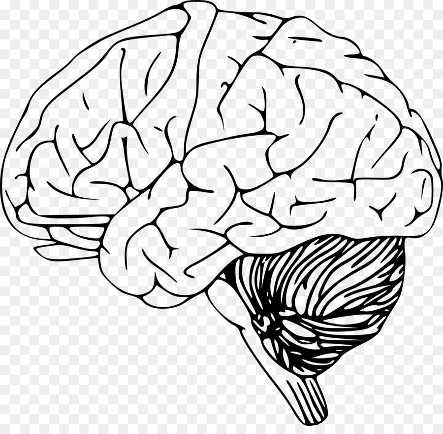 Esquema del cerebro humano Clip art - El cerebro humano Formatos De ...