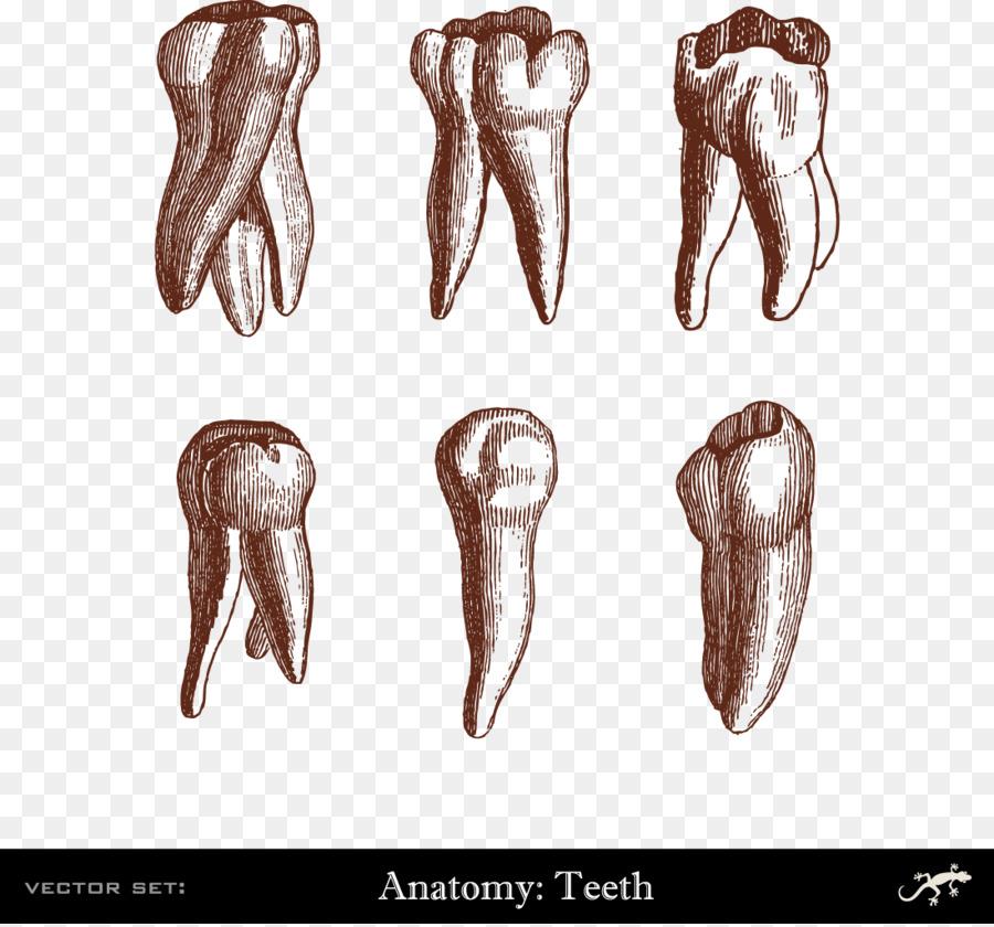 Human Tooth Dentistry Illustration Human Teeth Png Download 1098