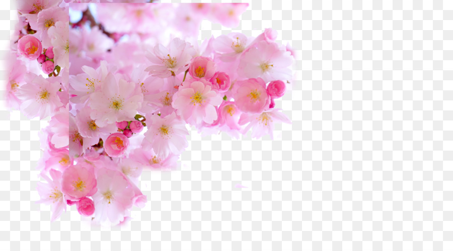 Cherry blossom download japanese pink sakura png download 5906 cherry blossom download japanese pink sakura mightylinksfo