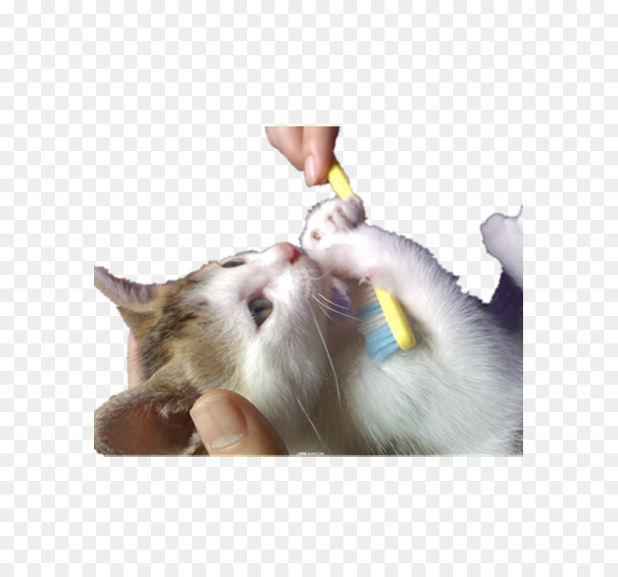 cat kitten toothbrush cat holding a toothbrush png download 625