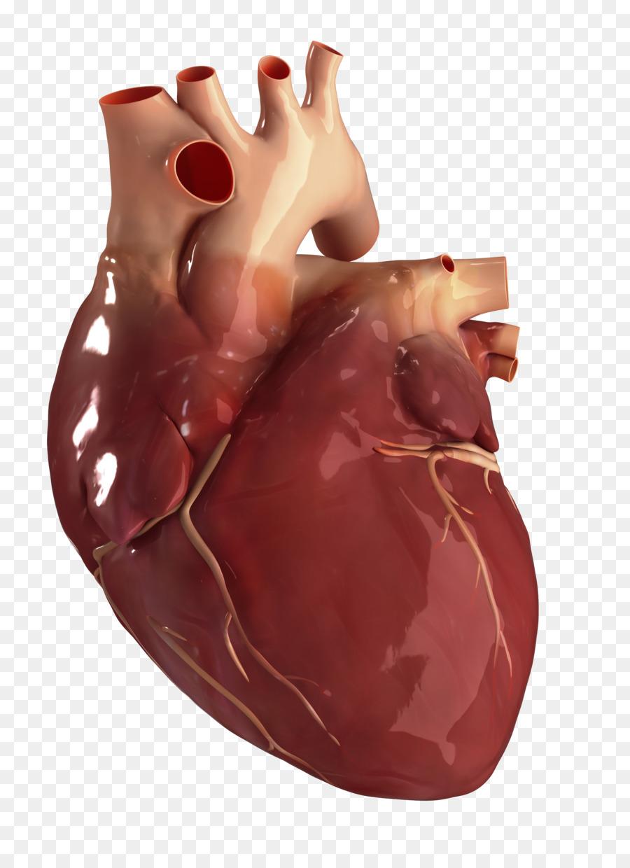 Human Heart Circulatory System Anatomy Human Body Heart Health Png