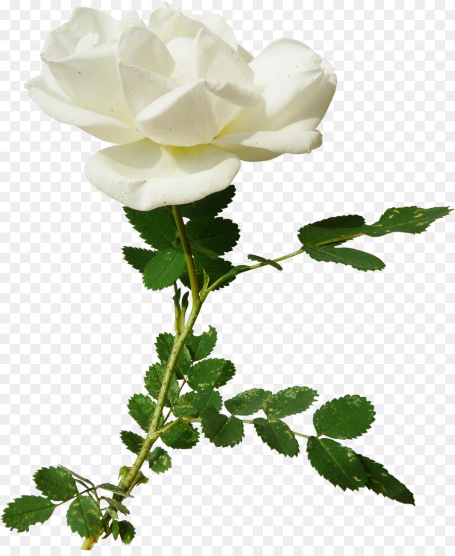 Jardín de las rosas Centifolia rosas Clip art - De la rosa blanca ...