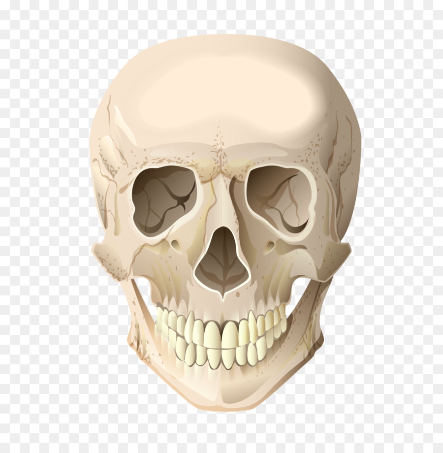 skull skeleton head bone cranial skeleton head vector terrorist