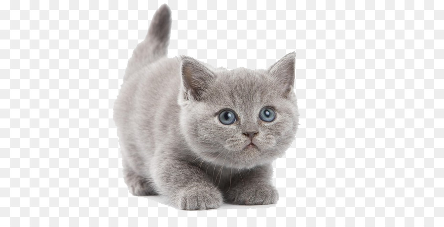 British Shorthair Abyssinian Kitten Wallpaper Cute Gray Kitten 600 450 Transprent Png Free