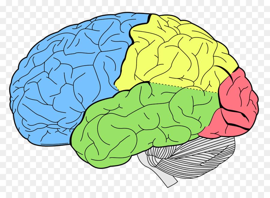 El cerebro humano Anatomía de la Neurociencia Lóbulos del cerebro ...