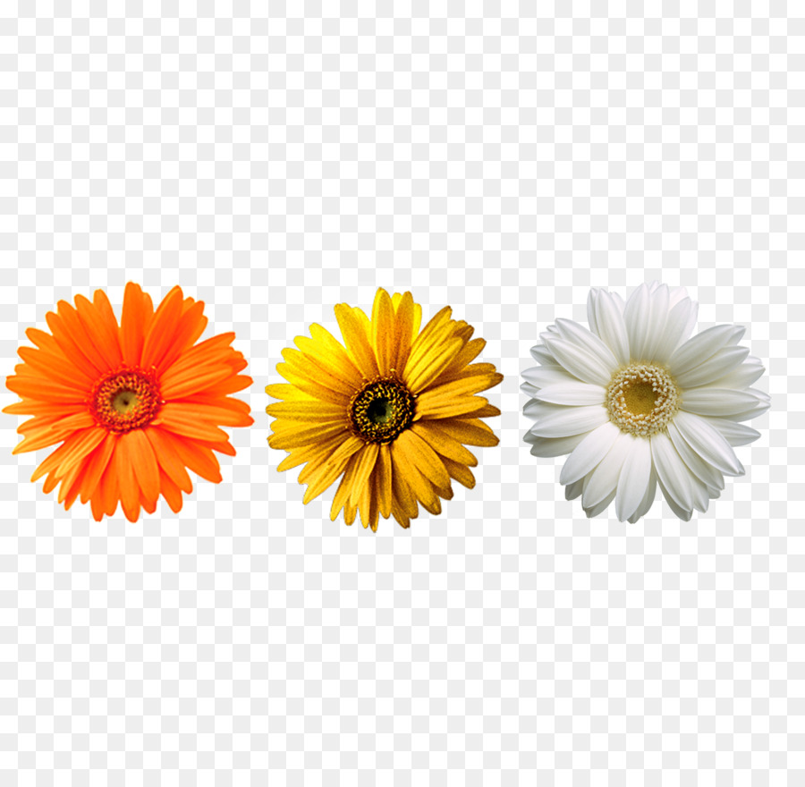 Chrysanthemum yellow flower transvaal daisy chrysanthemum png chrysanthemum yellow flower transvaal daisy chrysanthemum izmirmasajfo