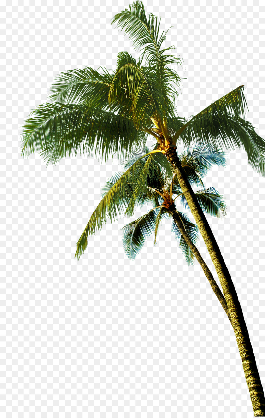 Coconut Asian Palmyra Palm Tree Coconut Tree 2036 3200 Transprent Png Free Download