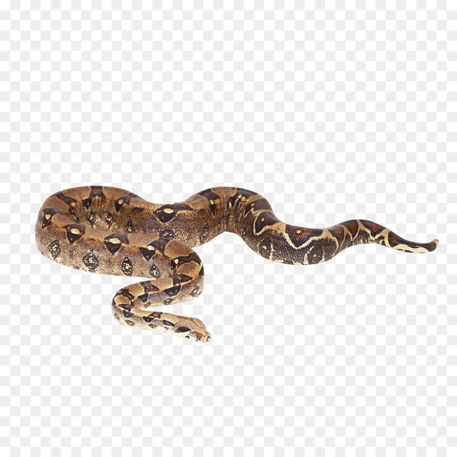 Serpiente de Reptiles Boa constrictor imperator la pitón Reticulada ...