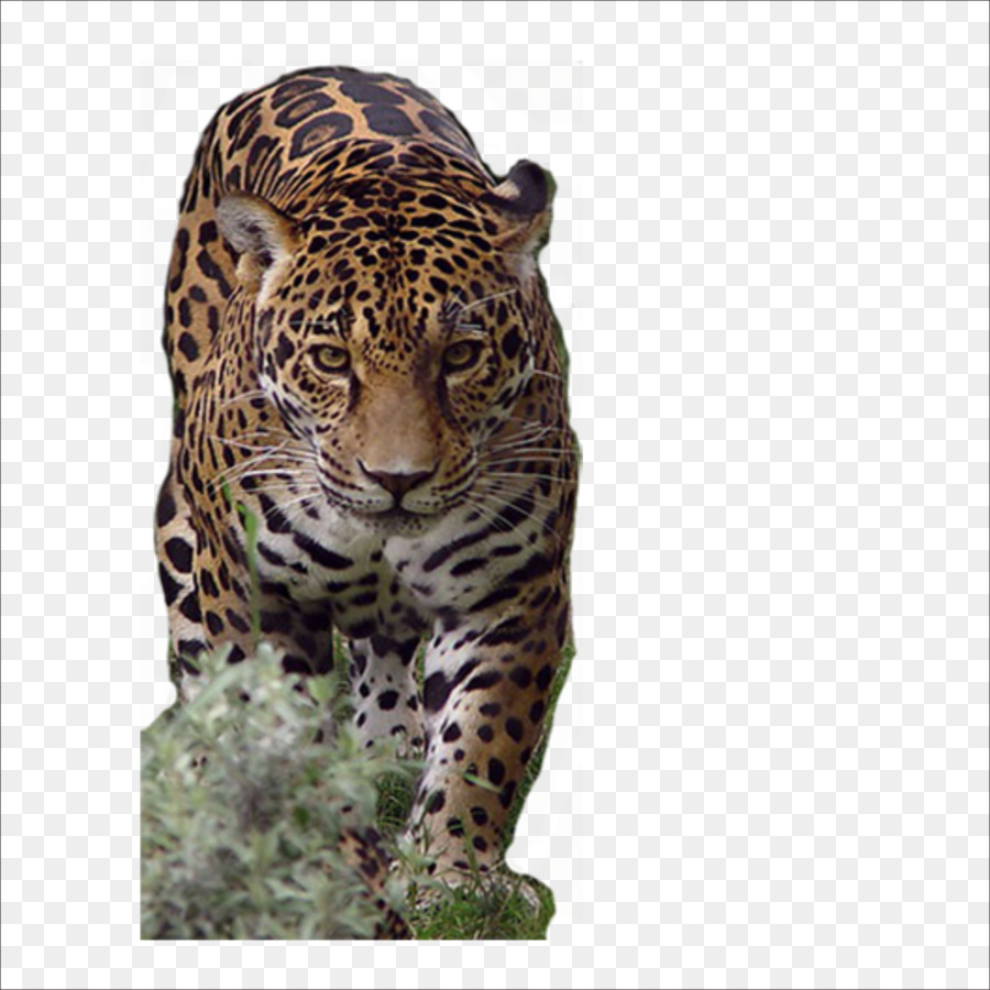 african leopard jaguar cheetah tiger - tiger png download - 1773