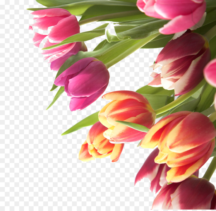 Tulip flower name day tulip flowers png download 28802798 tulip flower name day tulip flowers mightylinksfo