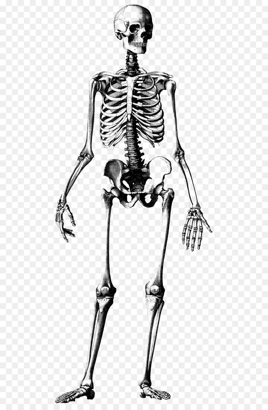 Esqueleto humano Cráneo de Dibujo de Anatomía Ilustración - Armazón ...