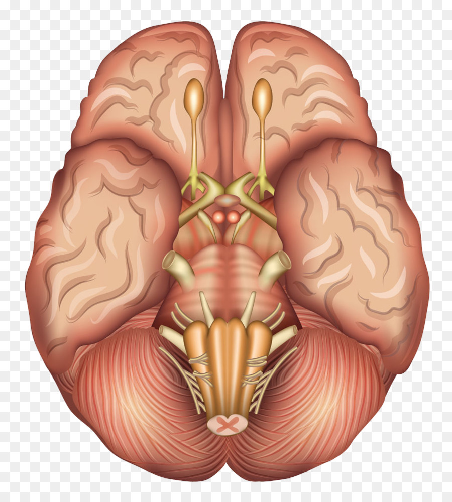 Human brain Anatomy Sagittal plane Pituitary gland - Human brain ...