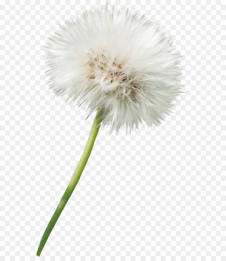 dandelion flower photography clip art - dandelion element png