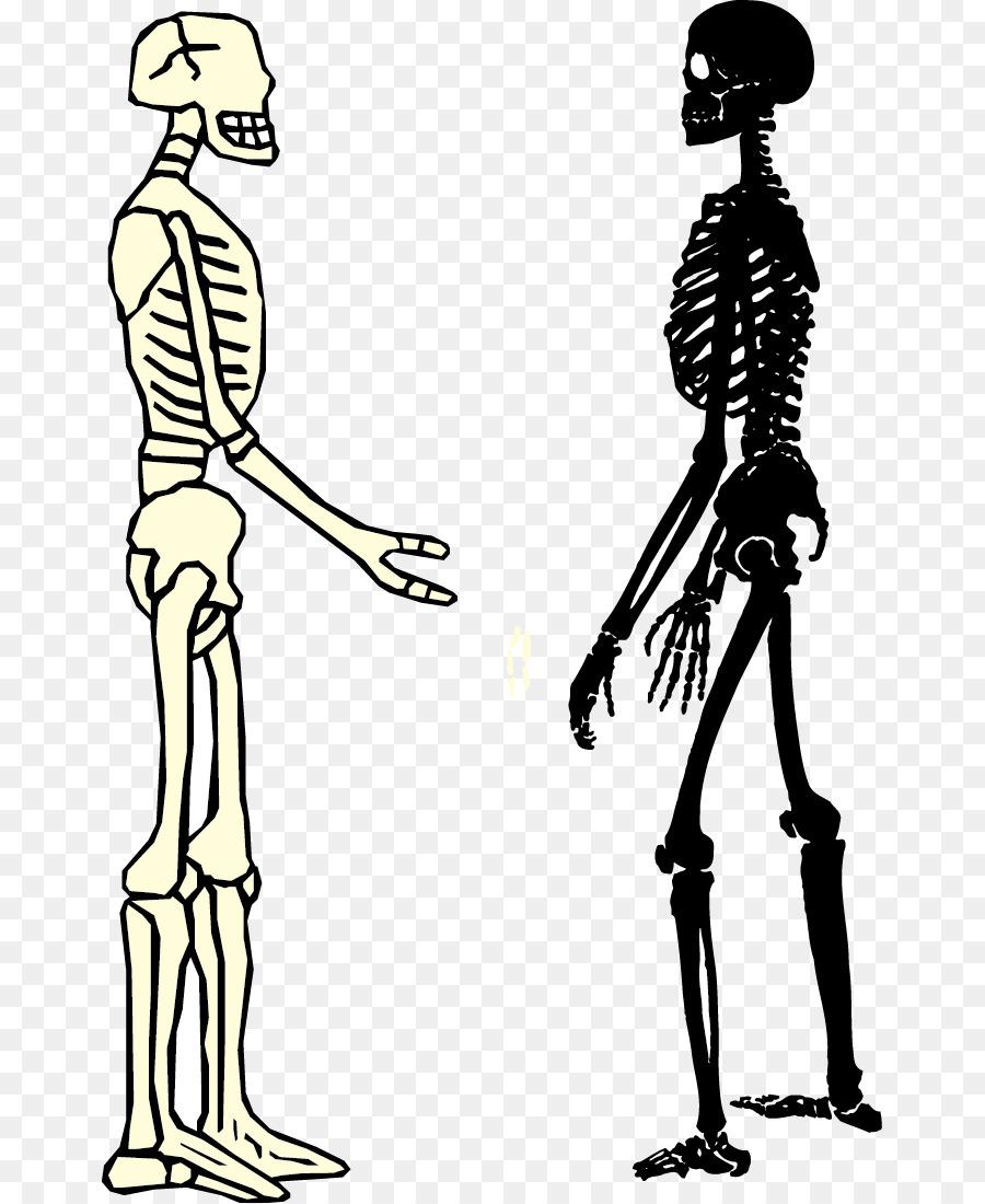 Human Skeleton Homo Sapiens Bone Male And Female Skeleton Png