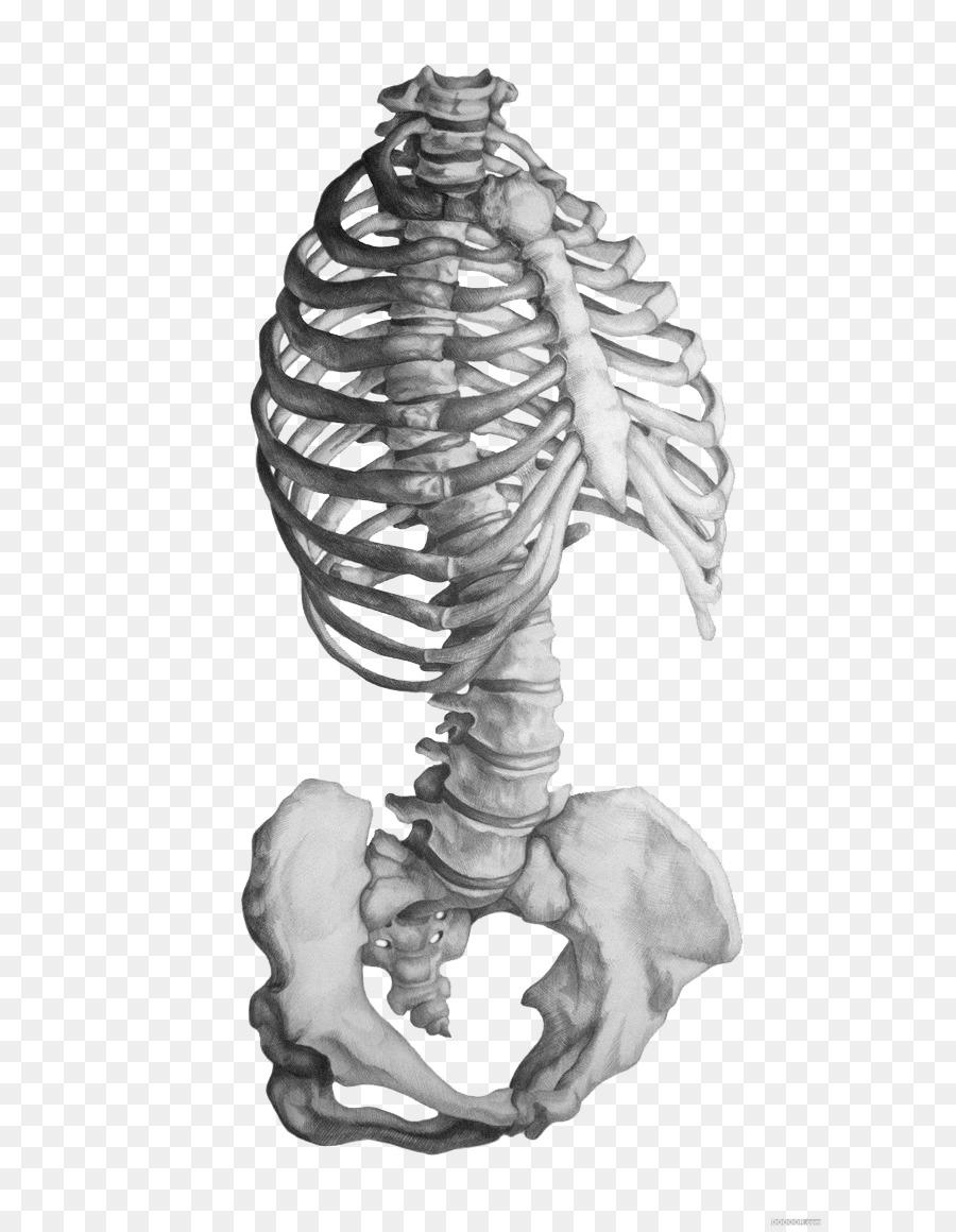Rhode Island School of Design de la Anatomía del esqueleto Humano de ...