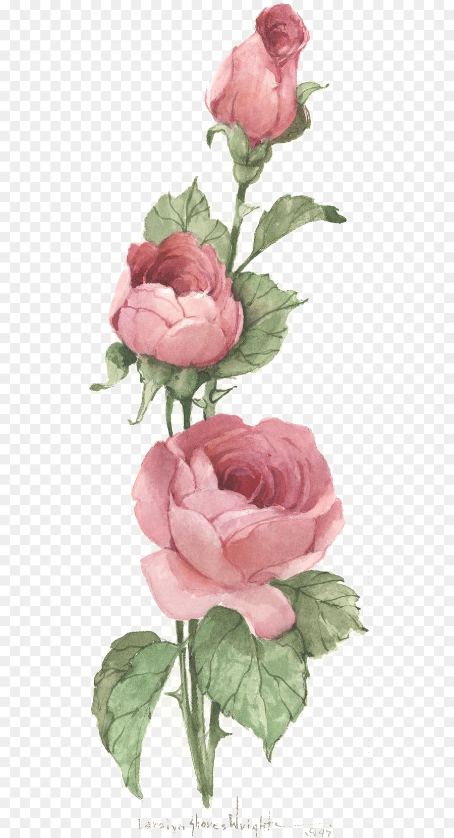 Centifolia Roses Vintage Clothing Pink Antique Clip Art Rose Png