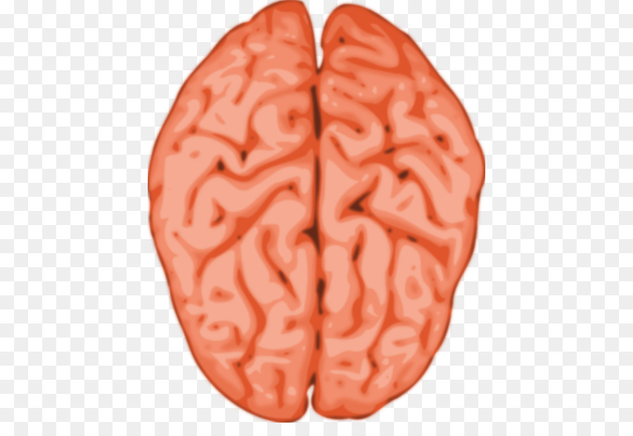 Humanos de la materia Gris del cerebro Clip art - Anatomía Humana ...