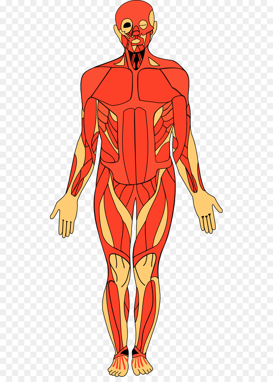 Anatomy Of The Human Body Human Anatomy Clip Art Human Anatomy